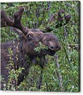 Yellowstone Munching Moose Acrylic Print