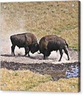 Yellowstone Turf War Acrylic Print