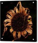 Yesterday's Blackeye Susan Acrylic Print