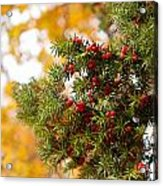 Taxus Baccata Or Yew Red Fruits On Twig  Acrylic Print