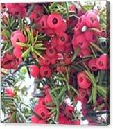 Yewberries Acrylic Print