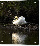 Yogi Swan Acrylic Print