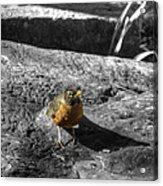 Young Bird Exploring Acrylic Print
