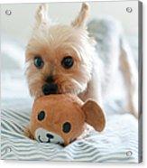 Yorkie Playing With Teddy Toy Acrylic Print