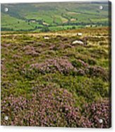Yorkshire Moors Heather Acrylic Print