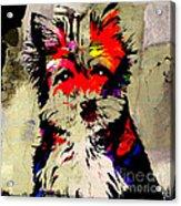 Yorkshire Terrier  Acrylic Print