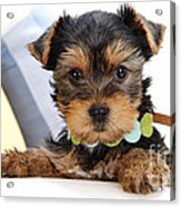 Yorkshire Terrier Puppy Acrylic Print