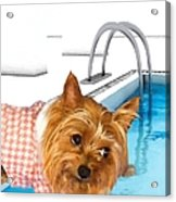 Yorkshire Terrier - This Is The Life Acrylic Print
