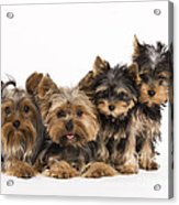 Yorkshire Terriers Acrylic Print