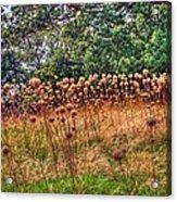 Yorktown Onion Field Acrylic Print