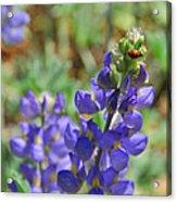 Yosemite Lupine And Ladybug Acrylic Print