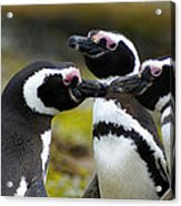 You May Kiss The Bride - Penguins Acrylic Print