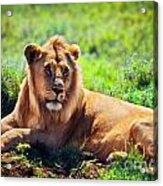 Young Adult Male Lion On Savanna. Safari In Serengeti. Tanzania Acrylic Print