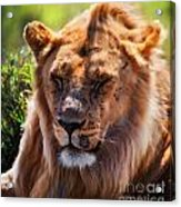 Young Adult Male Lion Portrait. Safari In Serengeti Acrylic Print