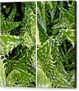 Young Aloe In Stereo Acrylic Print