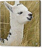 Young Alpaca Acrylic Print