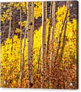 Young And Old Aspens Acrylic Print