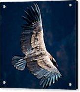 Young Andean Condor Acrylic Print