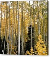 Young Aspens Acrylic Print