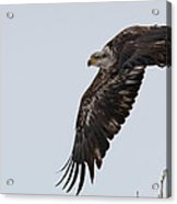 Young Bald Eagle Launches Into The Air Acrylic Print