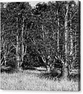 Young Baobab Trees  Acrylic Print