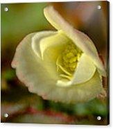 Young Begonia Bloom Acrylic Print