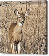 Young Black-tailed Deer Acrylic Print
