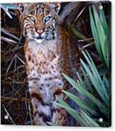 Young Bobcat Acrylic Print