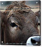Young Braunvieh Bull Acrylic Print