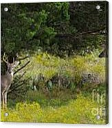 Young Bucks In The Texas Hill Country Acrylic Print