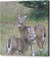 Young Bucks Acrylic Print