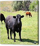 Young Bull Along The Rolling Hills Landscape Of The Black Diamond Mines In Antioch Calif 5d22352 Acrylic Print by Wingsdomain Art and Photography