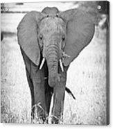 Young Bull Elephant Acrylic Print