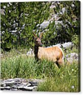 Young Bull Elk - Yellowstone National Park - Wyoming Acrylic Print