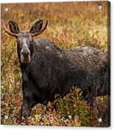 Young Bull Moose Being Aggressive Acrylic Print