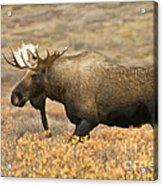 Young Bull Moose Acrylic Print