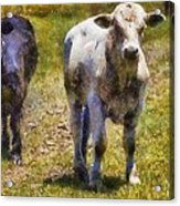 Young Bulls Acrylic Print
