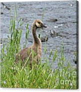Young Canadian Goose Acrylic Print