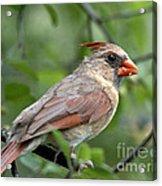 Young Cardinal Acrylic Print