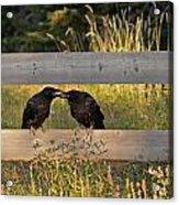 Young Common Ravens Acrylic Print