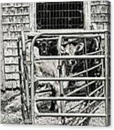 Young Cows In Pen Near Barn Maine Photograph Acrylic Print