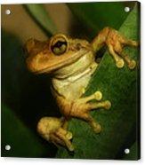 Young Cuban Tree Frog. Acrylic Print