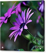 Young Daisies Acrylic Print