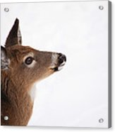 Young Deer In Winter Acrylic Print