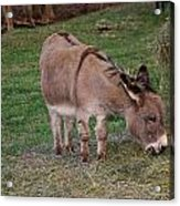 Young Donkey Eating Acrylic Print