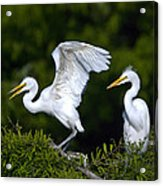 Young Egret Spreading His Wings Acrylic Print