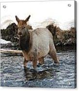 Young Elk Acrylic Print