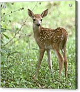 Young Fawn In The Woods Acrylic Print