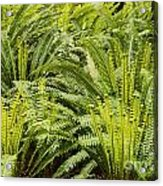 Young Fiddleheads Acrylic Print