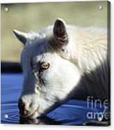 Young Goat Acrylic Print